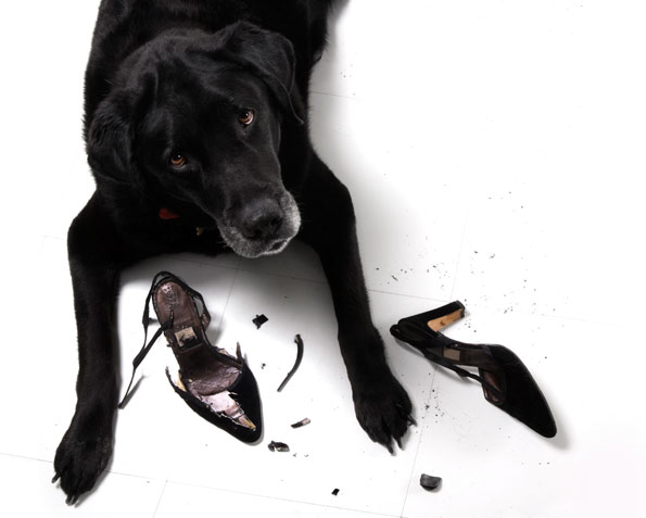 dog eating high heel shoes